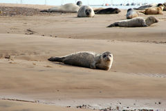 Seal pup on shore. Seal pup on sandy beach with common & grey seals in background Royalty Free Stock Photography