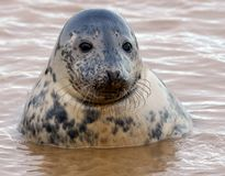 Seal pup in water. Young seal pup popping out of the water to see whats going on Stock Photography