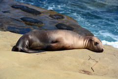 A seal puppy Royalty Free Stock Photo