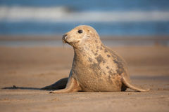 Seal puppy Royalty Free Stock Images