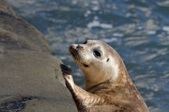 Seal Puppy in La Jolla Royalty Free Stock Images