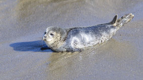 Seal Puppy in La Jolla Stock Image