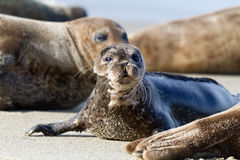 Seal Puppy Royalty Free Stock Photos
