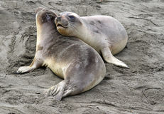 Seal Pups Stock Photography