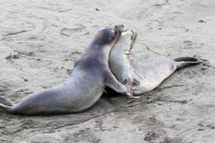 Seal Pups. Two Affectionate Elephant Seal Pups Playing In Sand Stock Photo