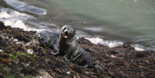 Seal pups on new zealands beach Royalty Free Stock Image