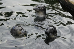 Seal pups at play Stock Photos