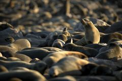 Seal reclining in the sun at a seal colony. Skeleton Coast, Cape Cross, Namibia. West coast of Africa. Seal reclining in the sun at a seal colony. Skeleton stock photography