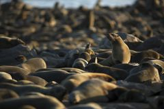 Seal reclining in the sun at a seal colony. Skeleton Coast, Cape Cross, Namibia. West coast of Africa stock image