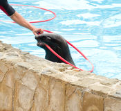 Seal with red hoop Royalty Free Stock Photo