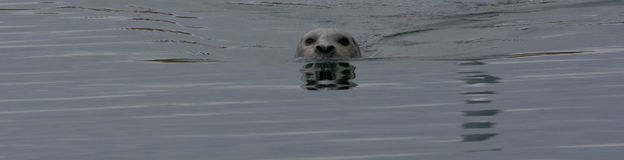 Seal Reflection Stock Photo