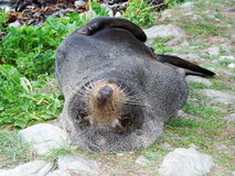 Seal. A relaxed seal resting on a grassy patch Stock Images