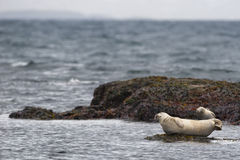 A seal relaxing on a rock in Iceland Royalty Free Stock Photos
