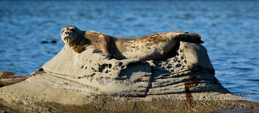 Seal relaxing on rock in ocean Royalty Free Stock Photo