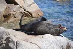 Yawning Seal Ocean Summer Day royalty free stock photography