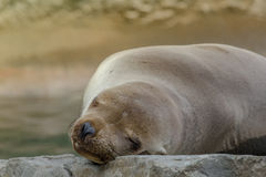 Seal royalty free stock image