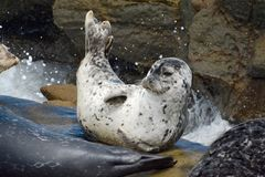 Seal at Rest Stock Photography