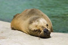 Seal Resting Royalty Free Stock Image
