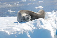 An seal resting on an iceberg Royalty Free Stock Images