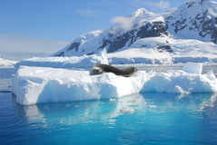 An seal resting on an iceberg Royalty Free Stock Photos