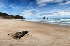 Marine wildlife image of fur seal resting on the shore of New Zealand stock photography