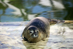 Seal resting. On the shore after swimming Stock Photography