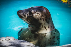 Seal resting in the sun in the water. Playful, seal resting in the sun in the water, wildlife Royalty Free Stock Photo