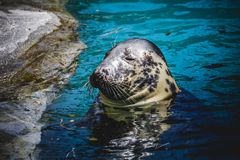 Seal resting in the sun in the water. Playful, seal resting in the sun in the water, wildlife Stock Image