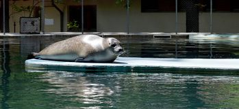 Seal resting at the zoo pool Royalty Free Stock Photography