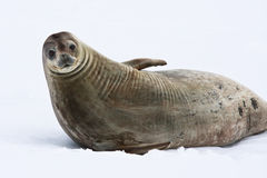 Seal rests. On the snowy slopes of the Antarctic Royalty Free Stock Photo