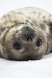 Seal rests. Baby seal close to mom. Antarctica Royalty Free Stock Photo