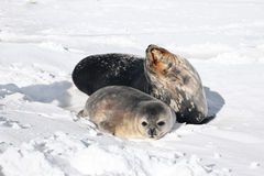 Seal rests. Seals rests on the snowy slopes of the Antarctic Royalty Free Stock Image