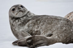 Seal rests. On the snowy slopes of the Antarctic Stock Photography