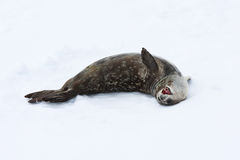 Seal rests. On the snowy slopes of the Antarctic Stock Images