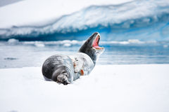 Seal rests Royalty Free Stock Photo