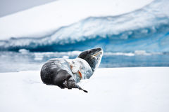 Seal rests. On the snowy slopes of Antarctica Stock Photography