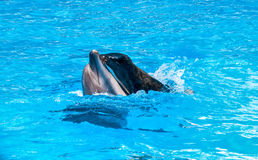 Seal is riding on a dolphin in blue water Royalty Free Stock Photography