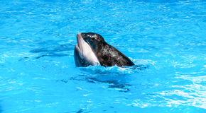 Seal is riding on a dolphin in blue water Stock Images
