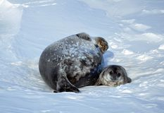 Seal - ringed seal Pusa hispida, A young mother with a born cub lies on the snow. Antarctic royalty free stock photos