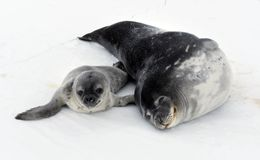 Seal - ringed seal Pusa hispida, A young mother with a born cub lies on the snow. Antarctic stock photos