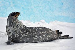 Seal - ringed seal Pusa hispida, lying in the snow on a sunny day and looking at the camera. royalty free stock images
