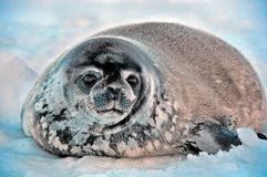 Seal - ringed seal Pusa hispida, lying in the snow on a sunny day and looking at the camera. Close-up. Antarctic royalty free stock image
