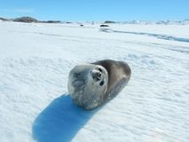 Seal - ringed seal Pusa hispida, lying in the snow on a sunny day and looking at the camera. Close-up. Antarctic royalty free stock images