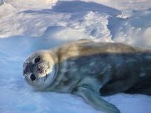 Seal - ringed seal Pusa hispida, A young mother with a born cub lies on the snow. A young mother with a born cub lies on the snow. Sunbathe, heat from the sun royalty free stock image
