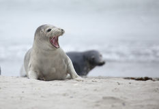 Seal Stock Photos
