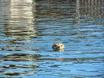 Seal, Robbe, Swim Stock Photography