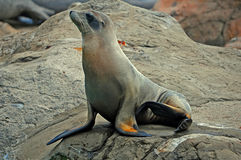 Seal or sea lion on the rock Royalty Free Stock Photography