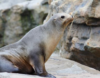 Seal on rock Stock Photos