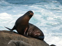 Seal on a rock. Wet seal just emerged from rough ocean to bask in the sun on a rock Stock Image