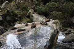 Seal rock. One famous place in milford sound - New zealand Stock Photos